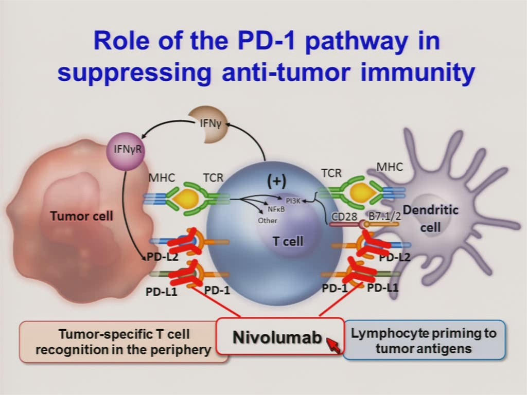 immunotherapy of cancer with monoclonal antibodies Types of immunotherapy cancer vaccines are substances given to people to prevent cancer from developing synthetic antibodies in the laboratory and give them to cancer patients monoclonal antibodies can be used to block so-called checkpoint molecules, such as ctla-4.