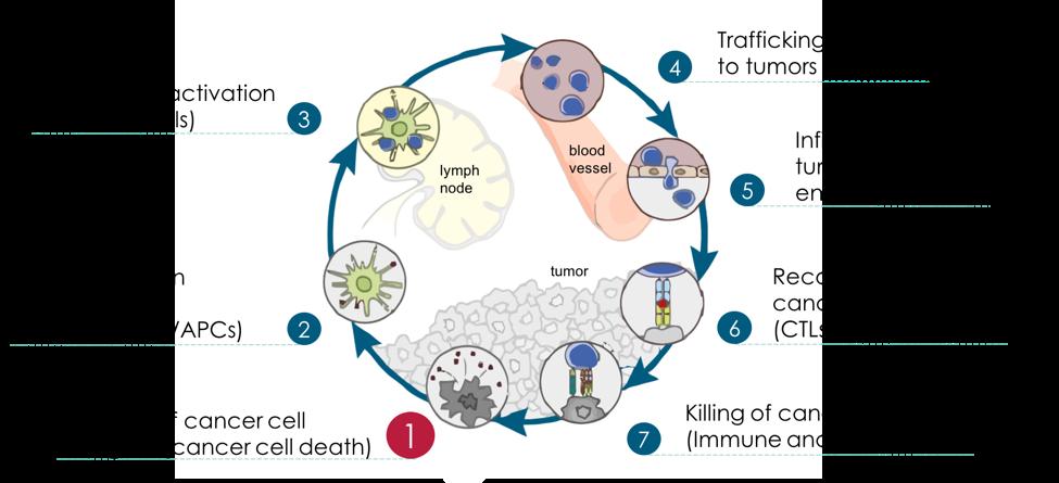 Cancer Immunity Cycle