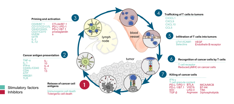Therapies cancer immunity cycle