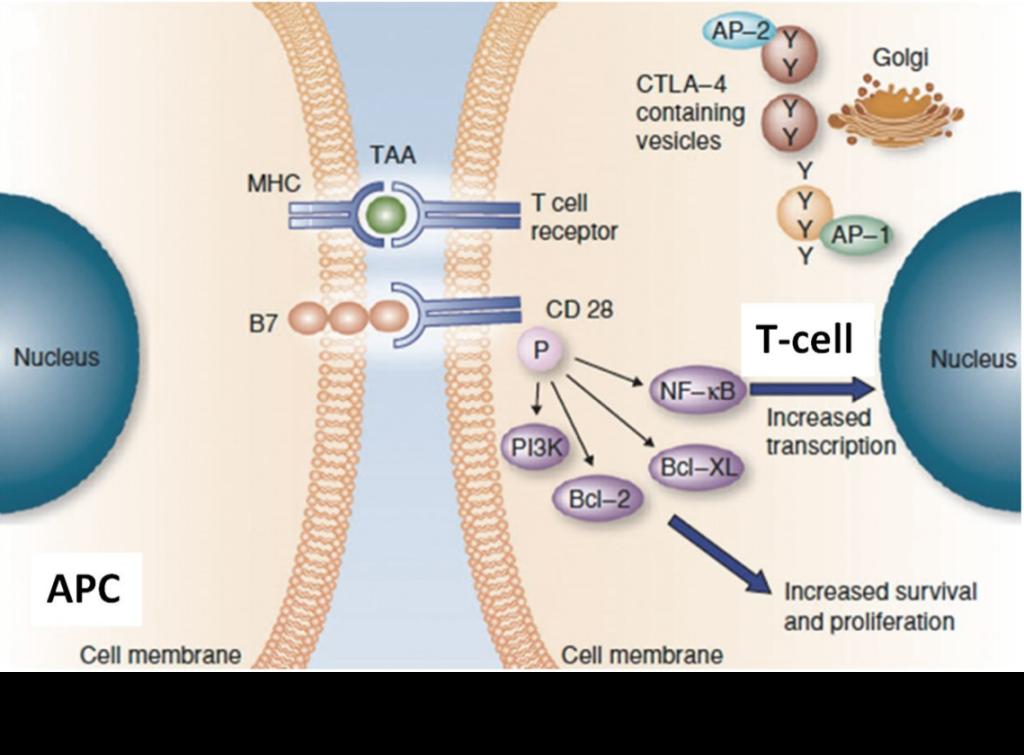 Antigen-Presentation-and-T-Cell-Priming