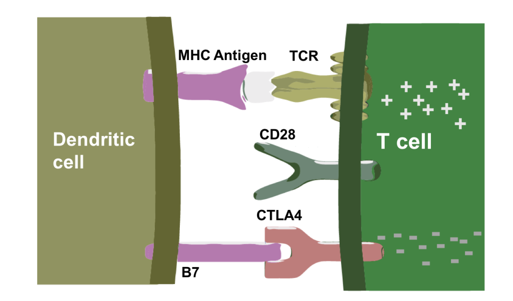 CTLA4-Negatively-Modulates-T-Cell-Activation