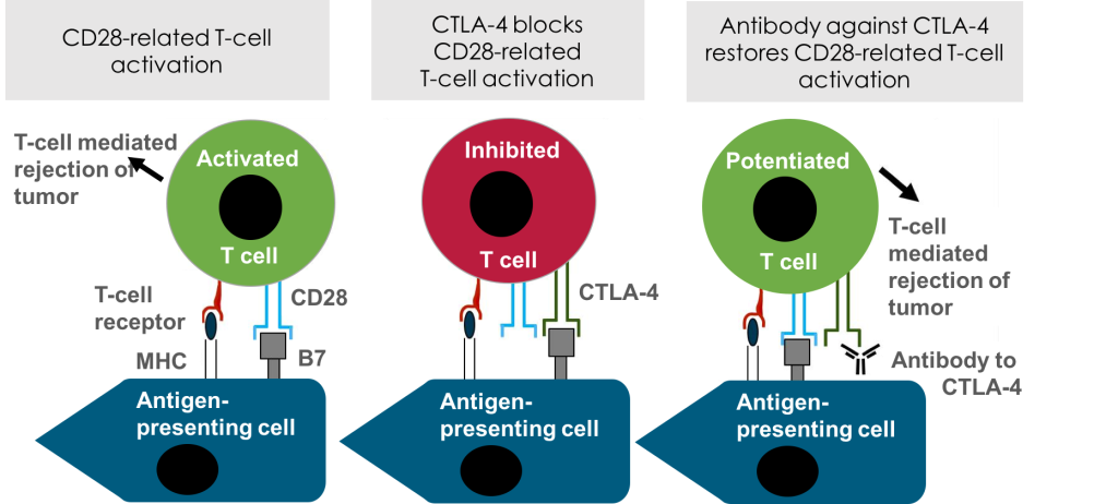 CTLA4-in-the-Immune-System